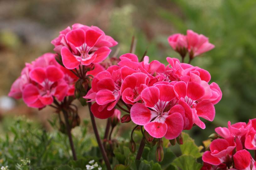 Jeśli chcemy pobudzić pelargonię do kwitnienia trzeba usuwać na bieżąco martwe kwiatostany /123RF/PICSEL