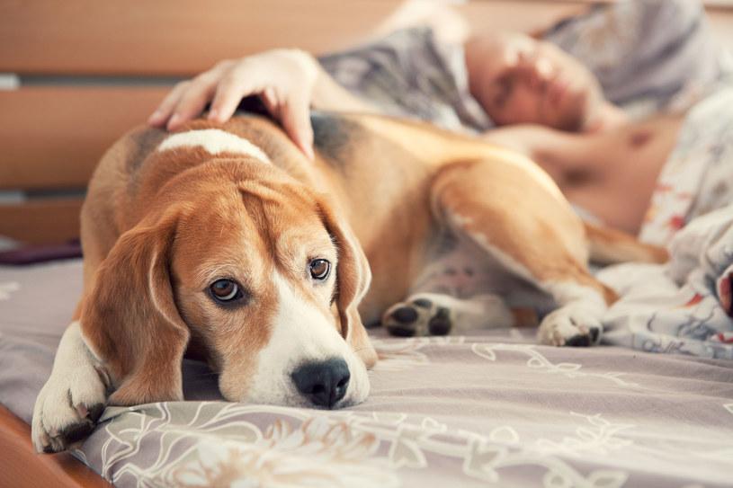 Jeśli chcesz rzeczywiście lepiej spać, raczej nie wpuszczaj psa do łóżka /123RF/PICSEL