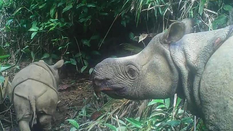 Jest nadzieja na przetrwanie gatunku nosorożców jawajskich /materiały prasowe