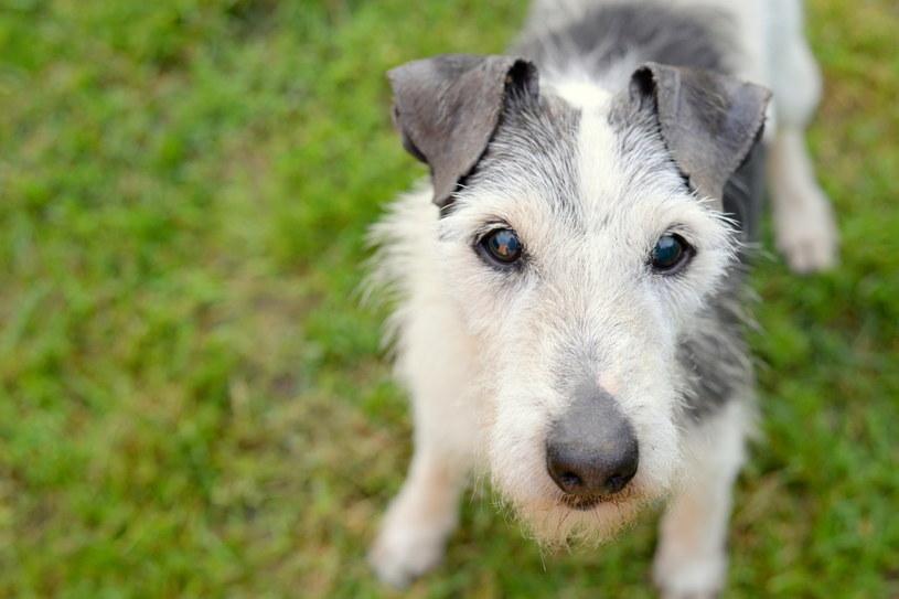 Jest odsetek psów, które po zakończeniu służby nie mają ani emerytury, ani opiekuna. Sytuacja emerytowanych psów policyjnych nie jest prawnie uregulowana. Na zdjęciu: Bono /materiały prasowe