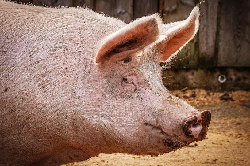 """""""Jest około 120 tys. świń pozostających w hodowlach, które powinny być już ubijane, znajdować się w rzeźniach, być w łańcuchu żywnościowym i być zjadane"""" /suju-foto /pixabay.com"""