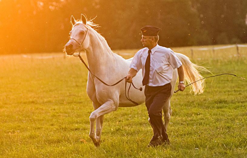 Jeszcze do niedawna o koniach arabskich z Polski mówiło się wyłącznie w pozytywnym kontekście /Andrzej Sidor /Agencja FORUM