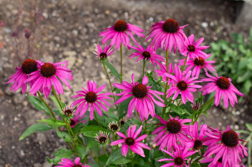 Jeżówka purpurowa stosowana jest w medycynie ludowej /123RF/PICSEL