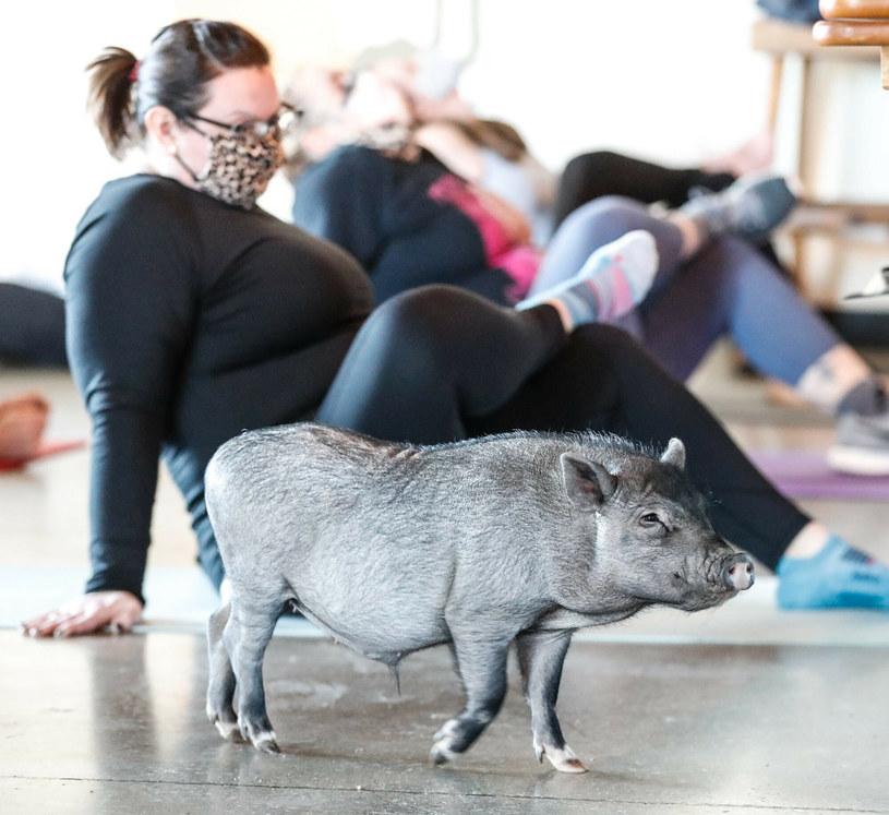 Joga ze zwierzętami staje się coraz popularniejsza /USA TODAY Network/Sipa USA/East News /East News