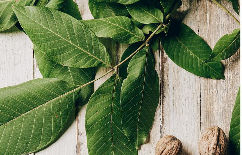 Juglon zawarty w liściach orzecha po przedostaniu się do gleby wpływa negatywnie na inne rośliny /123RF/PICSEL