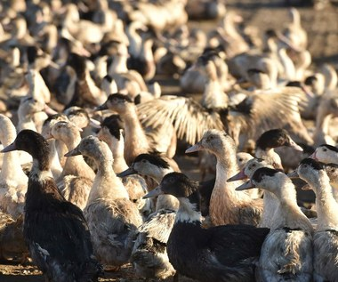 Już 19 ognisk grypy ptaków w Polsce
