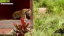 Już dziś Światowy Dzień Tygrysa. Poznajcie 5 ciekawostek na ich temat