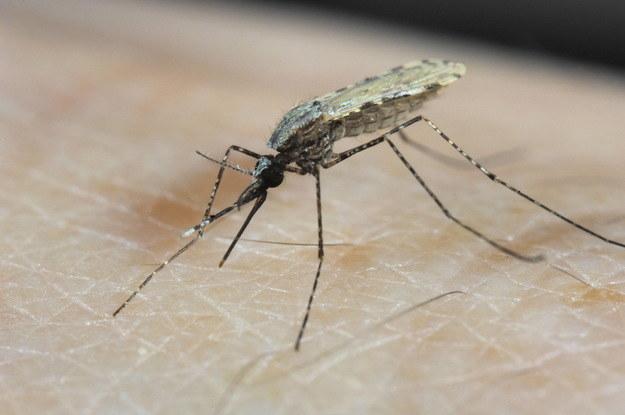 Już niedługo duża część środków stosowanych przeciwko komarom może okazać się nieskuteczna! /RMF24