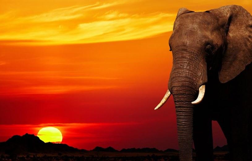 Już wiadomo, dlaczego słonie nie chorują na nowotwory /123RF/PICSEL