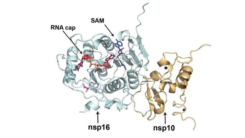 Już wiadomo jak SARS-CoV-2 modyfikuje swój materiał genetyczny, by był podobny do materiału gospodarza /materiały prasowe