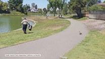 Kacza mama śledzi policjanta, który uratował jej małe