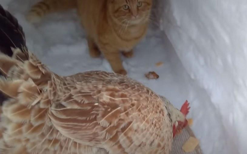 """Kadr z nagrania o """"kocie, który bawił się z kurą"""" /YouTube"""
