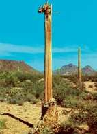 Kaktus karnegia /Encyklopedia Internautica