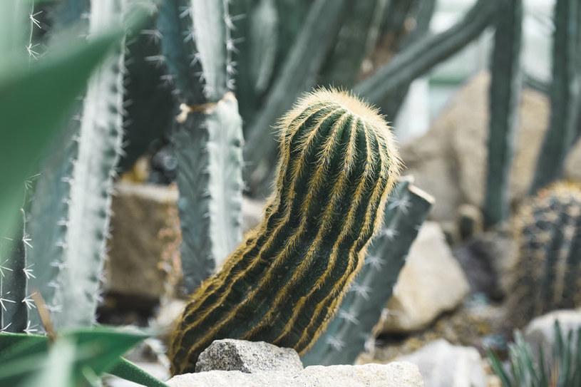 Kaktus /©123RF/PICSEL