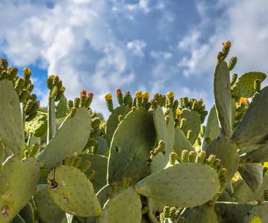 Kaktusy jadalne i ich zaskakujące właściwości