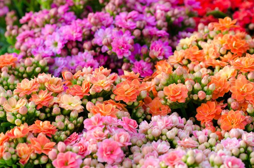 Kalanchoe blossfelidana to roślina krótkiego dnia /123RF/PICSEL