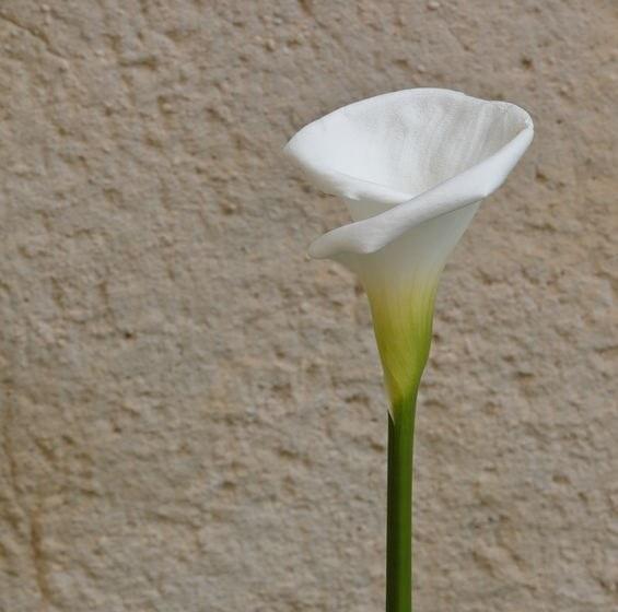 Kalia biała /©123RF/PICSEL