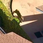 Kalifornia: Zabłąkana puma wędrowała między domami