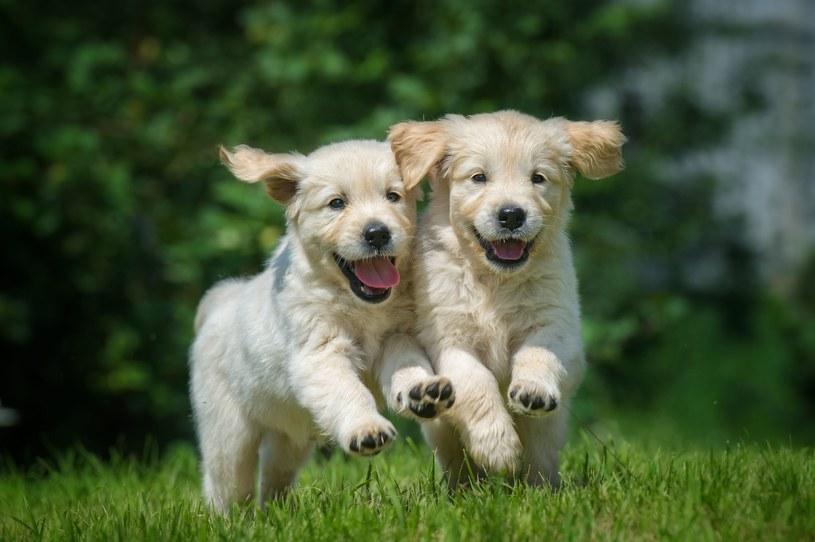 Kalifornijscy naukowcy, opierając się na wynikach badań przeprowadzonych na labradorach retrieverach, obliczyli, że oczny pies odpowiada już osobie dorosłej w wieku 31 lat. /123RF/PICSEL