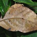 Kallima inachus: Niesamowity motyl, który oszuka twój wzrok