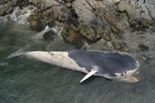 Kanada: Zwłoki płetwala błękitnego wyrzucone na wybrzeże Nowej Szkocji