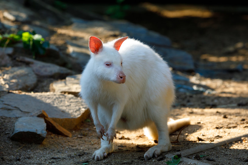 Kangur albinos; zdj. ilustracyjne /artush /123RF/PICSEL
