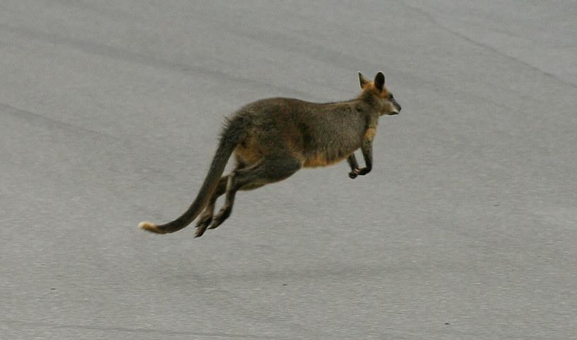 Kangur grasował na ulicach Rumi (zdjęcie ilustracyjne) /William West /AFP