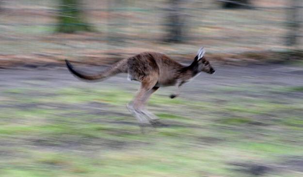Kangur jest przestraszony i niebezpieczny (zdjęcie ilustracyjne) fot. Britta Pedersen /AFP