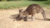 Kangur postanowił czule zaopiekować się kotem