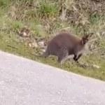 Kangur uciekł w Sterkowcu. Właściciel apeluje o pomoc