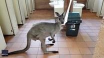 Kangur zajada się papierem w publicznej toalecie