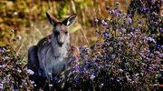 Kangury powodują wypadki… pod Paryżem!