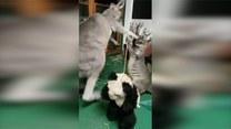Kangury walczące o względy… pluszowej pandy
