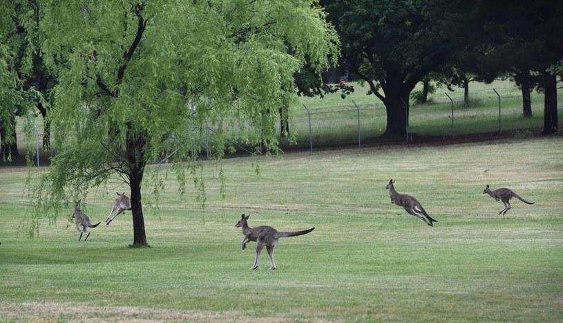 Kangury; zdj. ilustracyjne /AFP