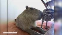 Kapibara i jej przyjaciel struś. Urocze