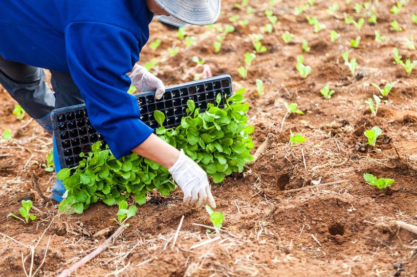Kapustę można sadzić z rozsad /123RF/PICSEL