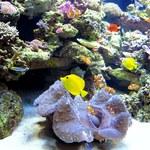 Karaibskie rafy koralowe mogą wyginąć w ciągu 20 lat