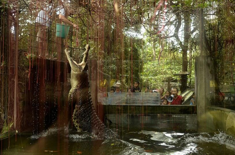 Karmienie krokodyla Shaquille'a w ogrodzie zoologicznym Malabon w Manili /NOEL CELIS /AFP