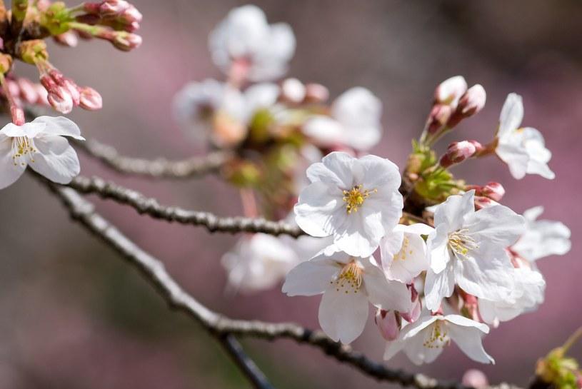 Karolina Bednarz przygląda się Japonii krytycznie, ale z empatią, celnie wskazując bolączki i wyzwania, z którymi na co dzień mierzą się mieszkanki Kraju Kwitnącej Wiśni /123RF/PICSEL