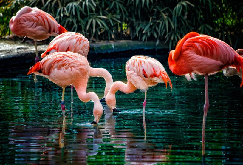 Karotenoidy odpowiadają za kolor piór między innymi flamingów i kanarków /123RF/PICSEL