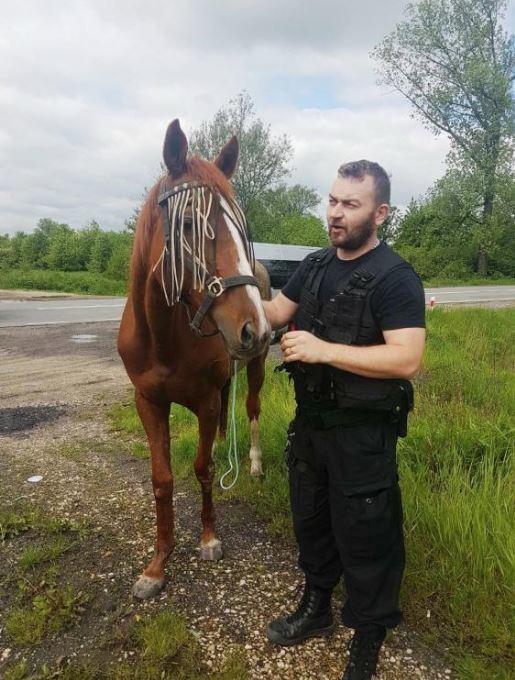 Kasztanka-uciekinierka pod opieką policjanta /foto. KMP w Oświęcimiu /