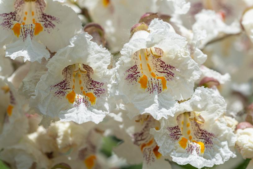 Katalpa zwyczajna bardzo intensywnie kwitnie /123RF/PICSEL