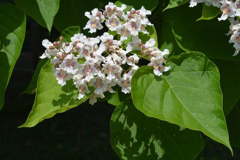 Katalpa zwyczajna to drzewo, które jest wyjątkowo bujne i obficie kwitnie /123RF/PICSEL