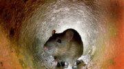 Każdy warszawiak ma swego...szczura