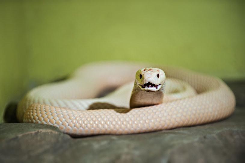 Każdy wąż zostawia na miejscu zbrodni swoje DNA /123RF/PICSEL