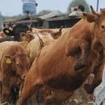 KE: Czesi nie mają prawa kontrolować całego importu polskiej wołowiny