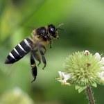 KE: Ginie nawet 20 proc. populacji pszczół