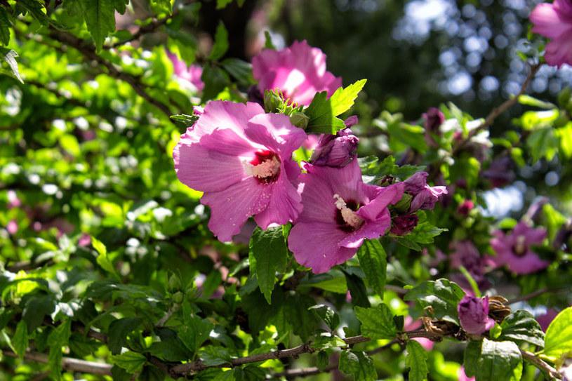 Ketmia to pokaźny krzew /©123RF/PICSEL