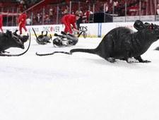 Kibice wspierali szczura. Wideo