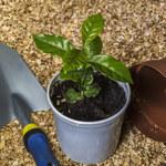 Kiedy i jak przesadzać rośliny doniczkowe?